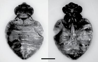 Cimex latipennis