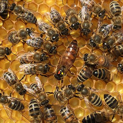 Russian honey bee queen