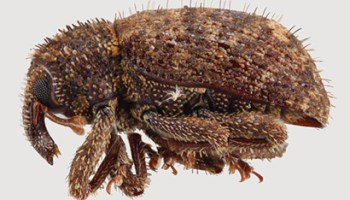 Are Sweetpotato Weevils Differentially Attracted to Certain