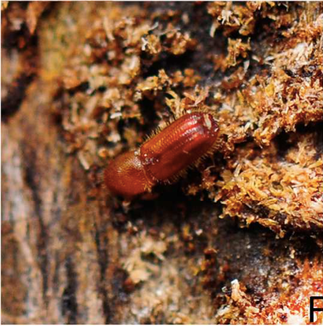 Acanthotomicus sp. adult