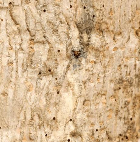 Acanthotomicus sp emergence holes