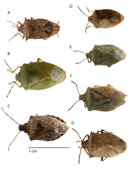 Stink bug adults