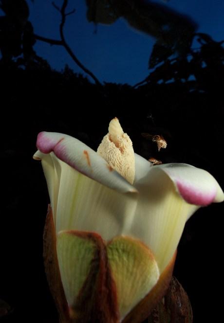 Megalopta nocturnal bee, Soberania N.P., Panama
