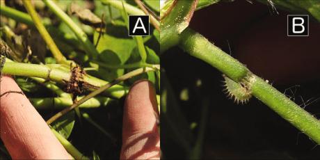 threecornered alfalfa hopper girdling