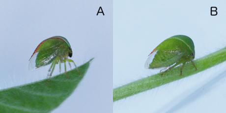 threecornered alfalfa hopper male and female