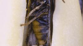 yucca moth oviposition