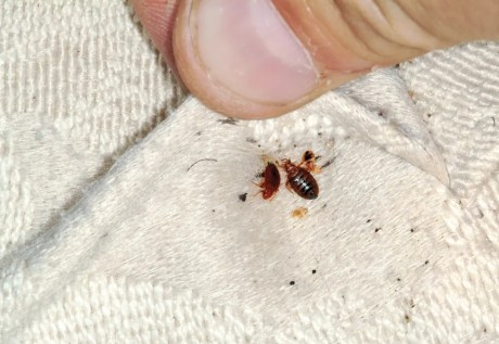 bed bugs in upholstery