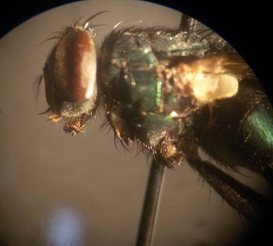Calliphoridae fly