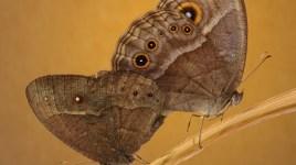 Bicyclus anynana butterflies mating