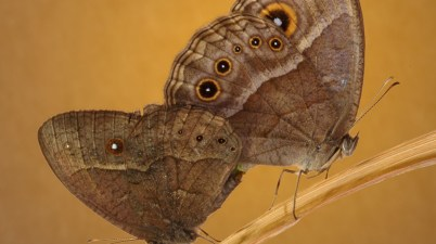 Bicyclus anynana butterflies mating