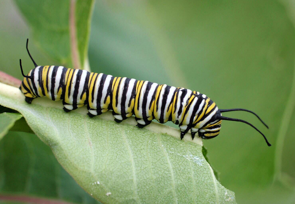 citizen science delivers unprecedented view of monarch butterfly