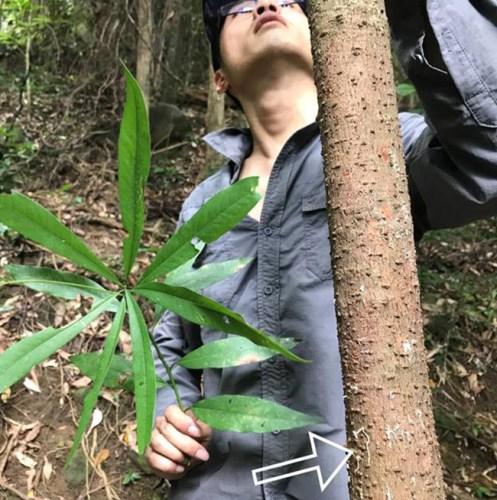 You Li examines Machilus pauhoi tree