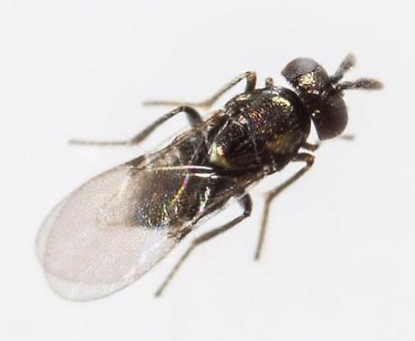 Copidosoma floridanum