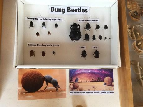 dung beetles display