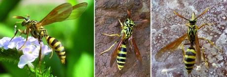 wasp and moth mimics