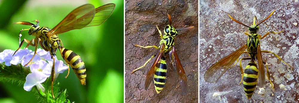 in enemy garb a new explanation for wasp mimicry