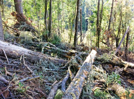 Downed Oyamel Firs
