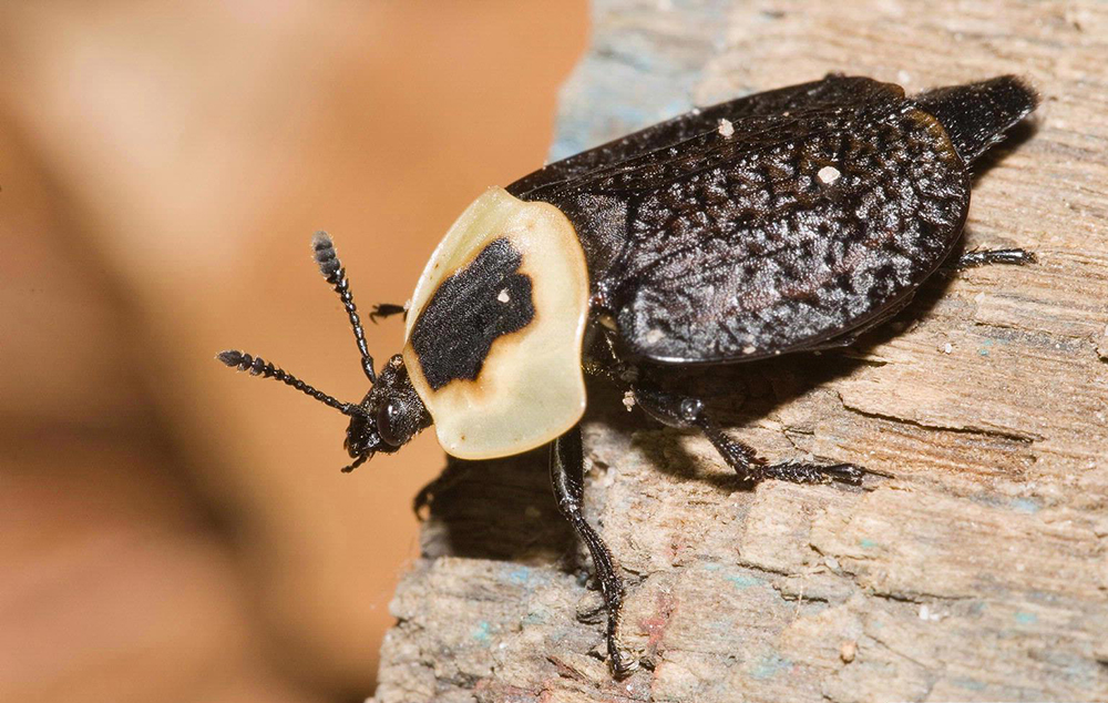 The Flies And Beetles That Turn Death Into Dinner