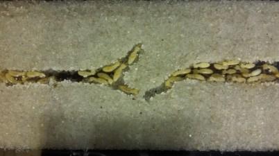 Coptotermes gestroi termites