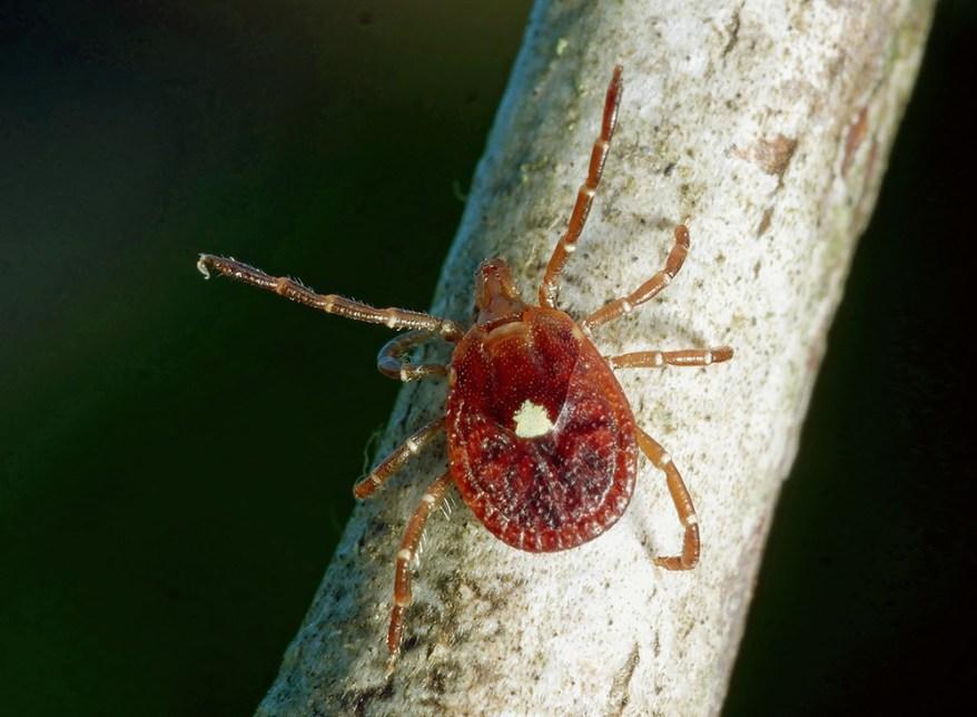 Lone Star Ticks: Not Guilty in Spread of Lyme Disease