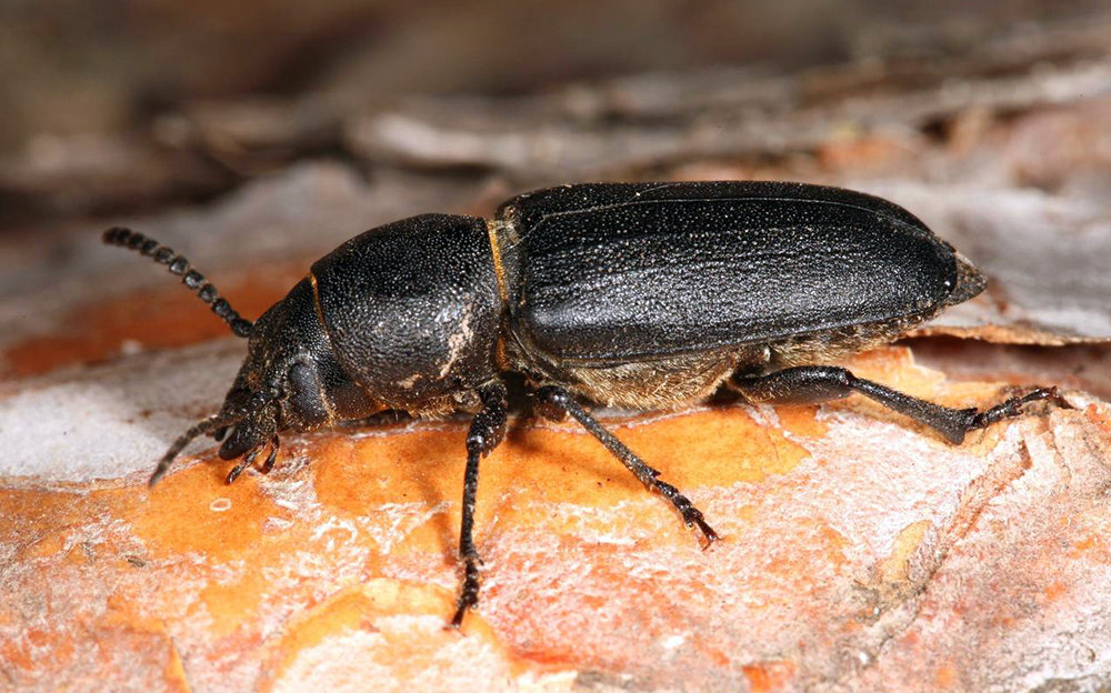 Domestic Sea Trade Aids Wood-Boring Beetles' Range Expansion