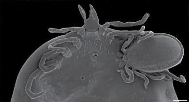 Ixodes angustus hyperparasitism