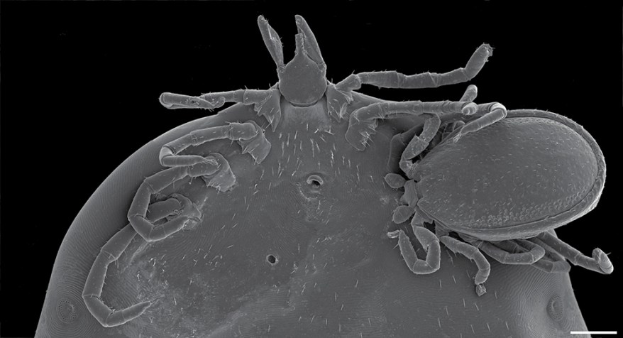 Ixodes angustus hyperparasitism