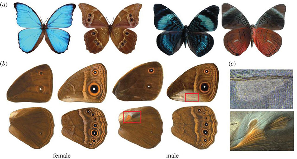 How Butterflies Pattern Top and Bottom Wing Surfaces Differently