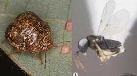 kudzu bug and Ooencyrtus nezarae