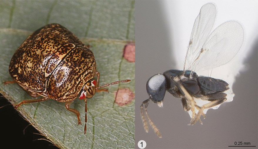 Another Natural Enemy of Invasive Kudzu Bug Arrives in North America