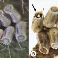 kudzu bug eggs parasitized by Ooencyrtus nezarae and Paratelenomus saccharalis