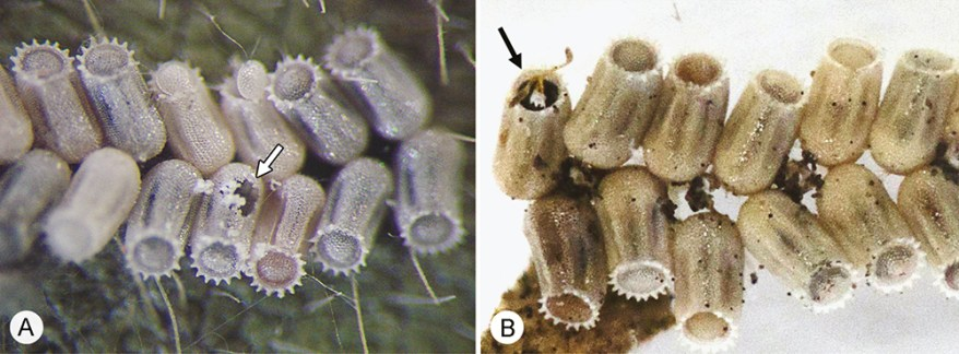 kudzu bug eggs parasitized by Ooencyrtus nezarae and Paratelenomus saccharalis