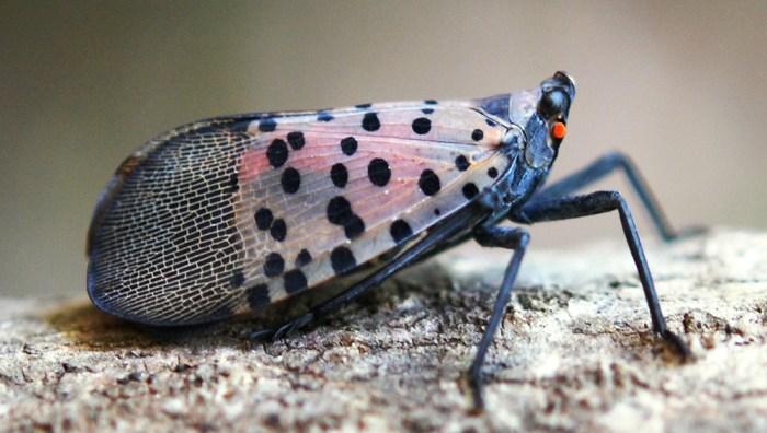 spotted lanternfly - Lycorma delicatula