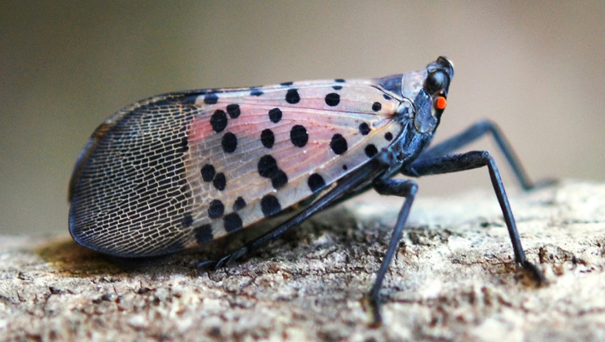 spotted lanternfly - Lycorma delicatula