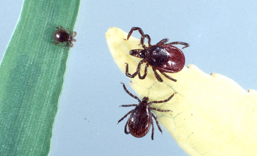 blacklegged tick life stages