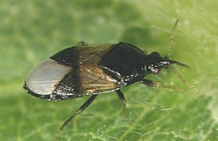 Orius insidiosus