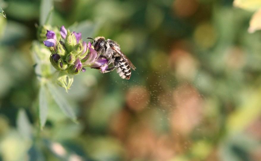 alfalfa leafcutting bee - Megachile rotundata
