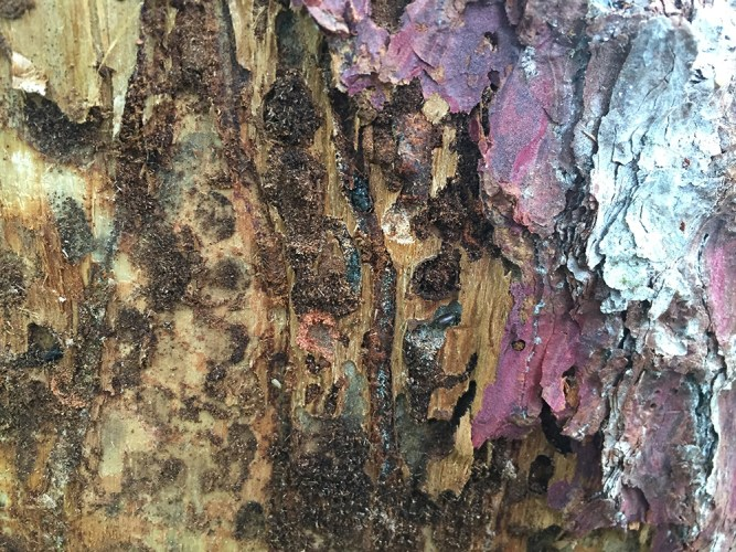 eastern larch beetle damage