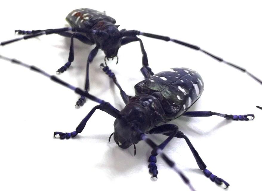 Asian longhorned beetles