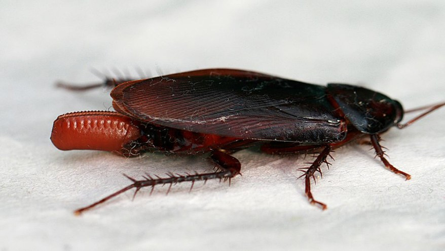 Cockroach with ootheca