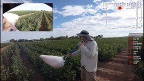 In a new study at the University of Arizona, researchers used body-mounted cameras to evaluate the efficiency of two insect pest sampling techniques—a sweepnet and a vacuum—in a cotton field. The perspective offered new insights into how such methods can be evaluated and could help growers and integrated pest management professionals further fine-tune their sampling techniques. (Photo credit: James Hagler, Ph.D.)