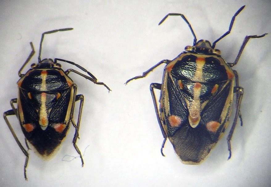 Bagrada hilaris - stink bug