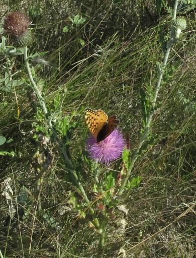 Boloria selene butterfly