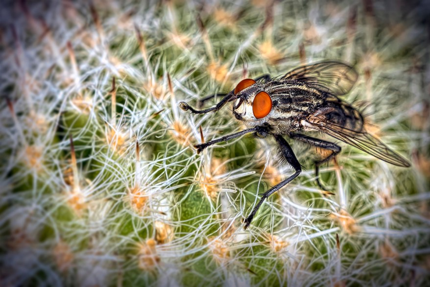 Cactus fly