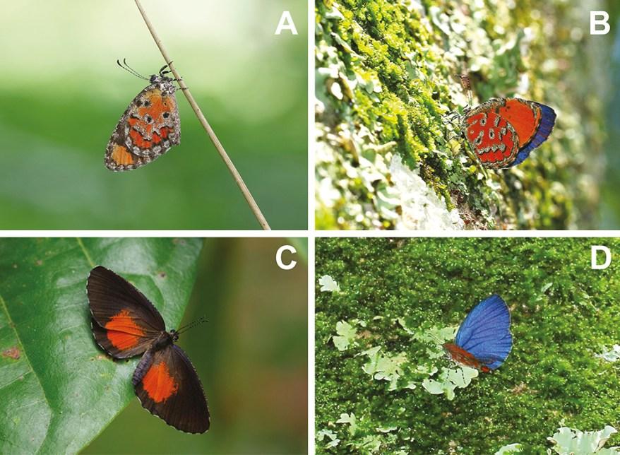 Mimeresia neavei comparison to Mimeresia libentina