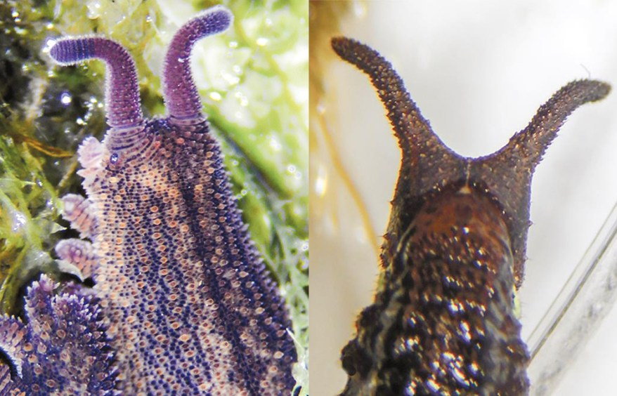 Onychophoran and Lepidopteran Mimic - side-by-side