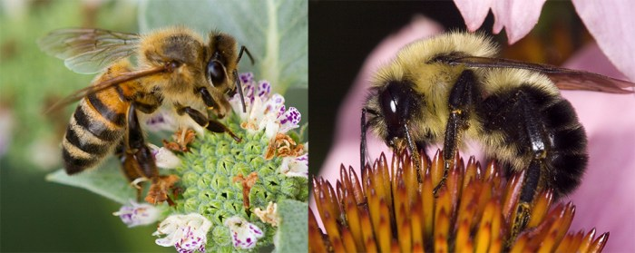 apis mellifera and bombus impatiens