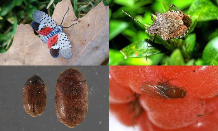 four invasive insects