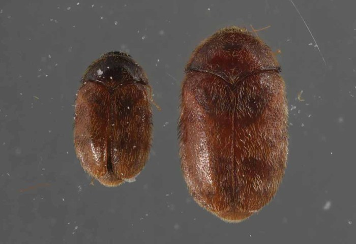 khapra beetle male and female
