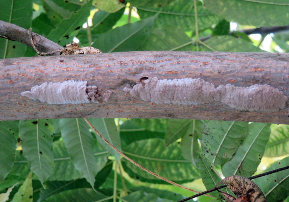 Got Spotted Lanternfly Eggs on Your Tree? Send 'Em Through the Wood Chipper
